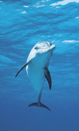 Dolphin by vanko Go Launcher