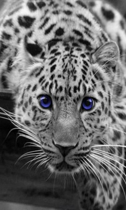 Blue eyes by vanko Go Launcher