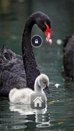 Cute Swans Lock Screen Theme