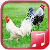 Chicken sounds