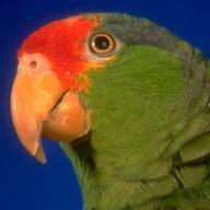 Translator Parrot