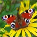 Butterfly Wallpapers 320x240
