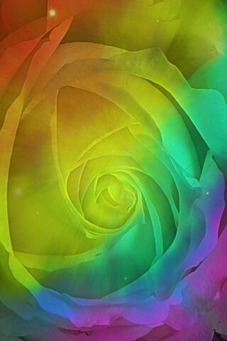 Rainbow Colors Rose