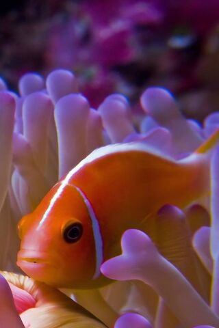 Clown Fish Hd