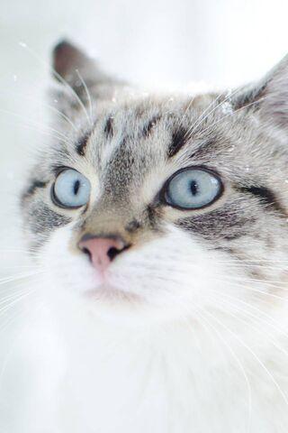 Kucing Blue-Eyed