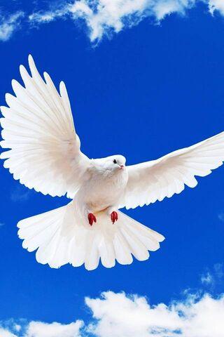 सफेद कबूतर