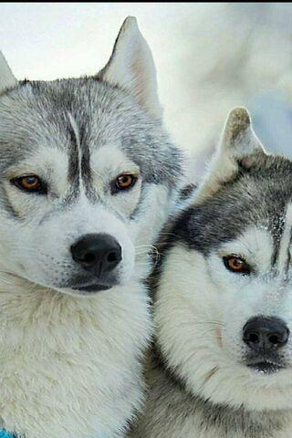 Sexy Husky Dogs