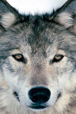 Wolf-88j-Wolf