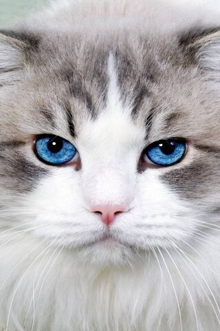 Cat Blue Eye