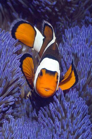 मसख़रा मछली
