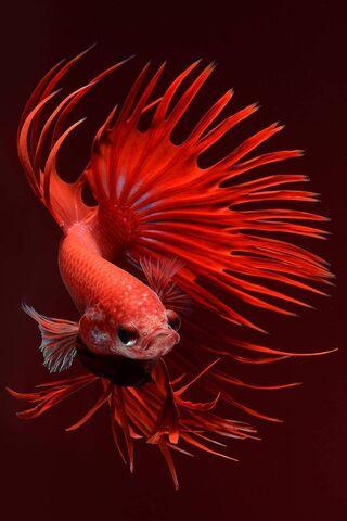 Champion Fish 6s-8