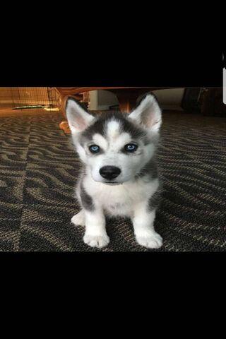 Me As A Husky Puppy