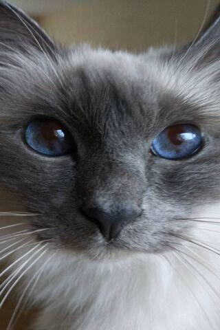 Kucing Birmania