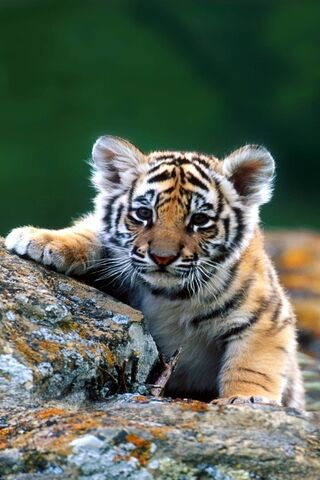 Baby-Tiger