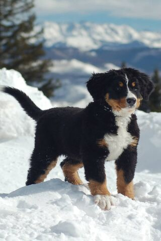 Mountain Puppy