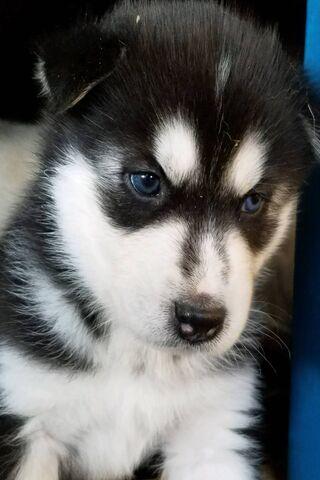 Logan Husky Puppy