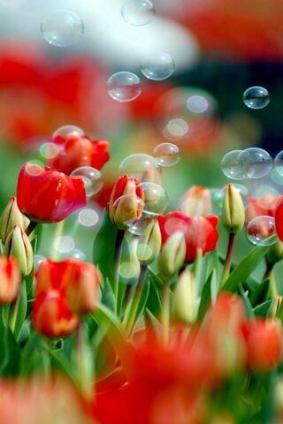 Tulip Dan Bubbles