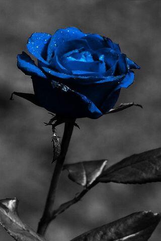 Czarno-niebieska róża