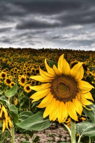 Sunflowers Hd