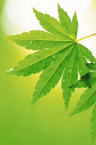 Марихуана листя