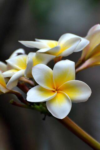 Spring Plumeria