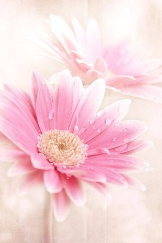 Hoa huệ