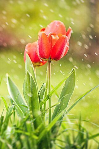 Tulip In Rain