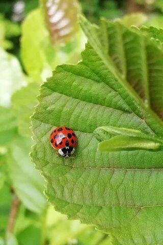 Ladybird Hd
