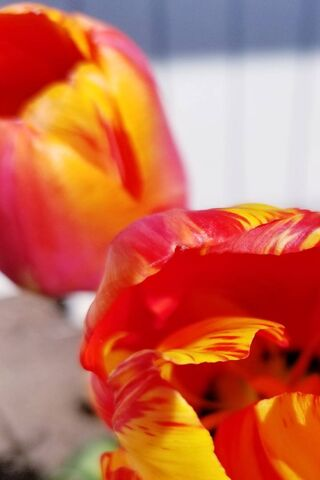 Peachy Tulips