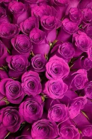الورود الارجوانية