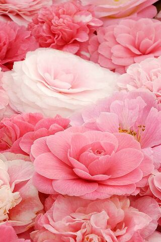 Rosa suave