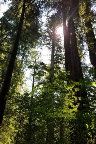 غابات الخشب الأحمر