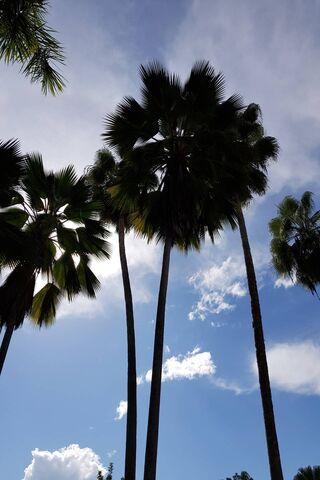 Palmiers d'ombre