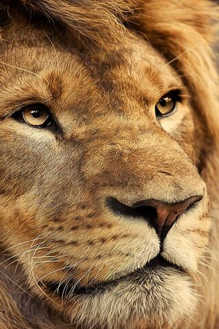 Sư tử vua