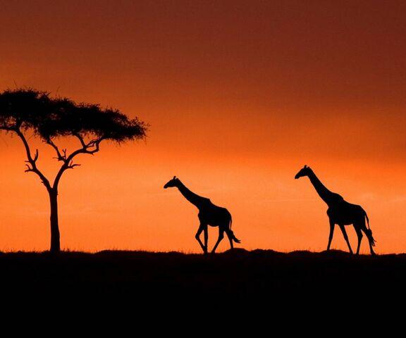 Girafe Masai Fond D Ecran Telecharger Sur Votre Mobile Depuis Phoneky