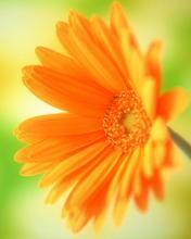 Bunga Oren Wallpaper Muat Turun Ke Telefon Bimbit Anda Dari Phoneky