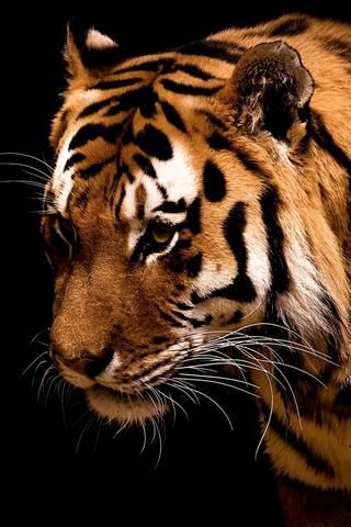 Harimau cantik